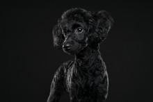 Balck Poodle Portrait In Black Background