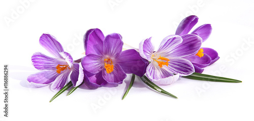 Cadres-photo bureau Crocus Crocus violets
