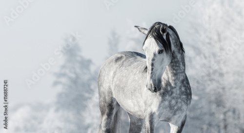 Portrait of Spanish thoroughbred grey horse in winter forest. Canvas Print