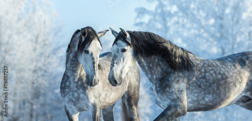 Portrait of two spanish grey stallions in winter forest Wallpaper Mural