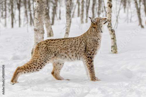 Deurstickers Lynx Lince boreal