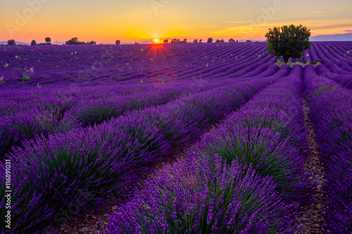 Spoed Foto op Canvas Violet Tree in lavender field at sunset in Provence, France