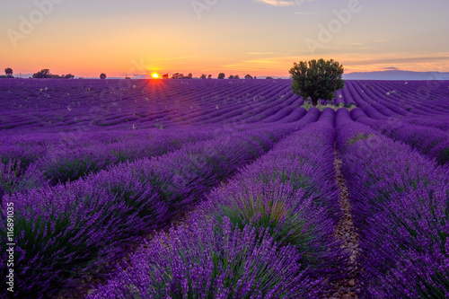 Cadres-photo bureau Violet Tree in lavender field at sunset in Provence, France