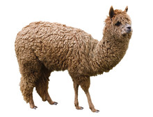 Alpaca, Pet, Isolated On A White Background