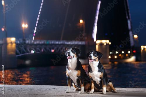 Fényképezés  Entlebucher Mountain Dog, Sennenhund walks on a night
