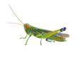 Grasshopper of white background