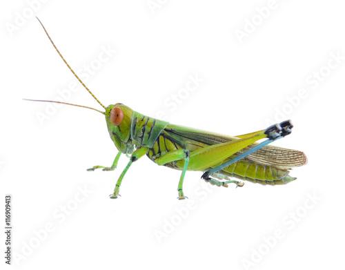 Grasshopper of white background Wallpaper Mural