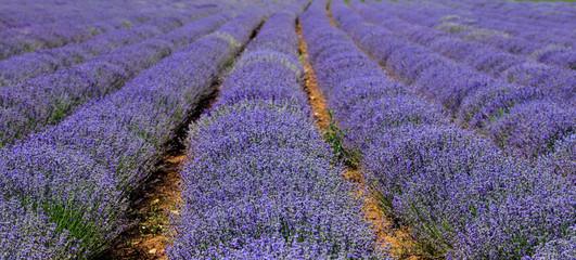 Lavender field in rows