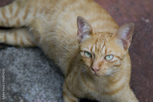 Fototapeta Kitten, resting cat on a flor in colorful blur background, cute funny cat close up, young playful cat at home, domestic cat, relaxing cat, cat resting, cat playing at home, elegant cat obraz na płótnie