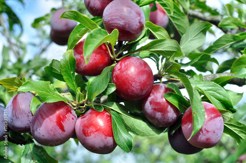 ripe plums on a tree branch Canvas Print