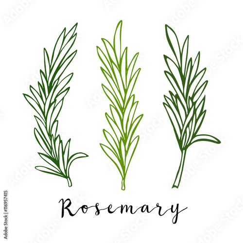 Photographie Hand drawn colo\\red rosemary in vector