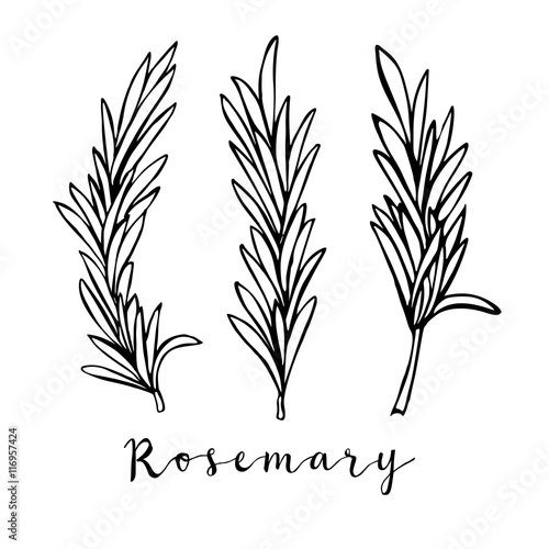 Fotografia Hand drawn rosemary in vector