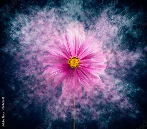 Foto cosmea flower