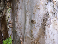 Close Up Of Melaleuca Wood Bar...