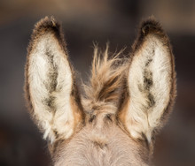 Front View Of Donkey's Ears