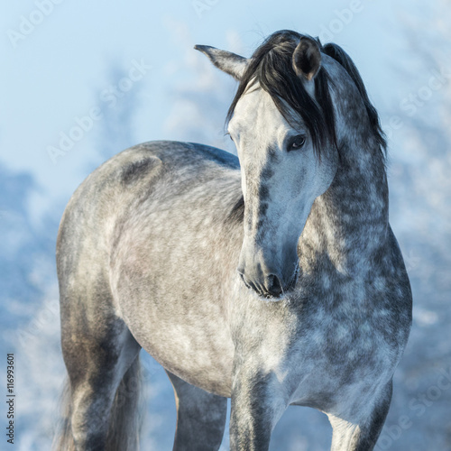 Portrait of thoroughbred gray stallion in winter forest on a blu Canvas Print