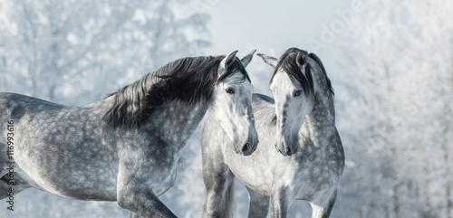 Fototapeta Two thoroughbred gray horses in winter forest. obraz na płótnie