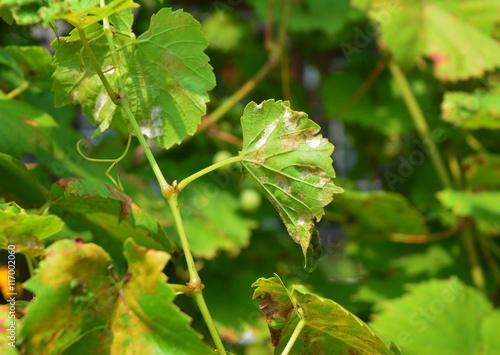 Valokuva  Grape Powdery Mildew