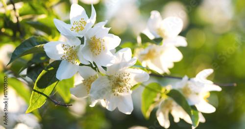 Obraz na plátně jasmine bush in warm sunset light