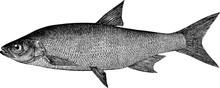 Vintage Picture Fish