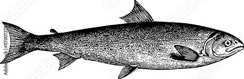 Carta da parati Vintage picture trout fish