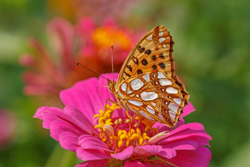 Fototapeta close up of High brown fritillary butterfly on zinnia flower