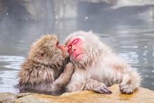 Lovely Monkeys In The Hot Spring
