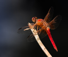 Selective Focus On A Flame Skimmer Or Firecracker Skimmer (Libellula Saturata).