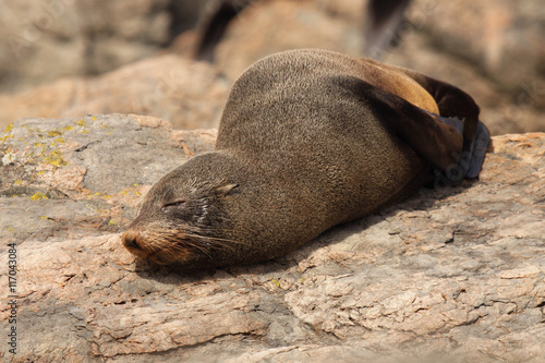Plakat  A Southern Fur Seal asleep on a warm rock along the Pacific Ocean in New Zealand