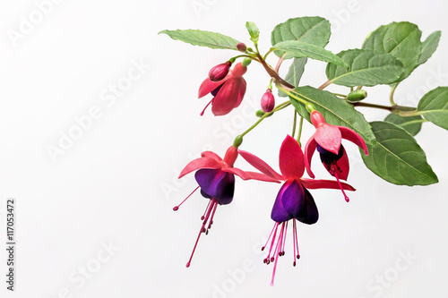 Photo Closeup view of the colorful fuchsia flower wth green leafs