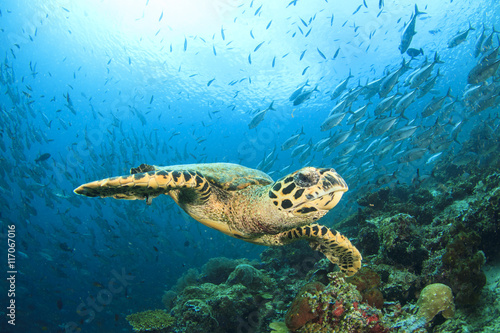 Poster Tortue Sea Turtle on coral reef with fish school at Sipadan Island, Malaysia