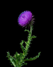 Musk Thistle Or Nodding Thistle On The Black Background
