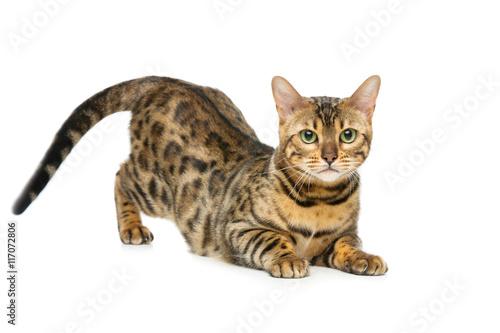 Beautiful bengal cat Canvas Print