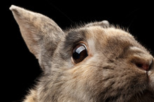 Closeup Head Frightened Little Rabbit, Brown Fur, Isolated On Black Background, Profile View