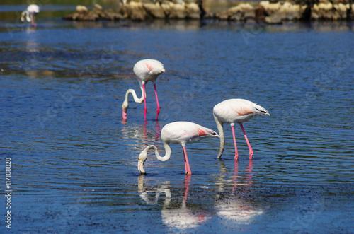 Photo Flamingos in Sardinia