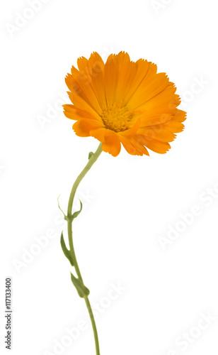 Calendula marigold flowers with leaves isolated on white buy this marigold flowers with leaves isolated on white mightylinksfo
