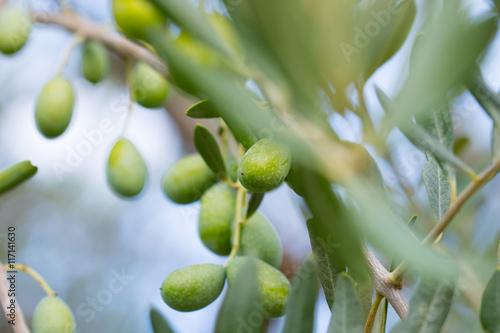 Wall Murals olive tree