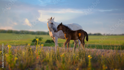Foto op Canvas Paarden white mare with red foal