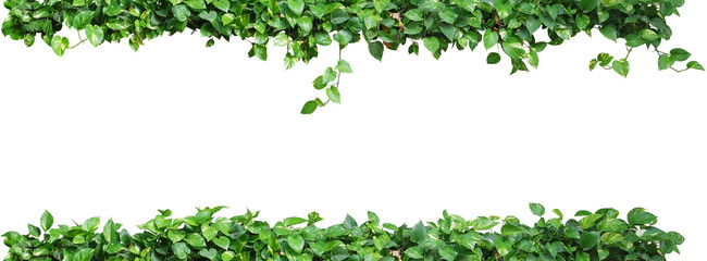Panel Szklany Eko Heart shaped green leaves vine plant, devil's ivy or golden pothos nature frame layout isolated on white background with clipping path.