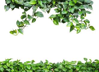 NaklejkaHeart shaped green yellow leaves vine, devil's ivy, golden potho
