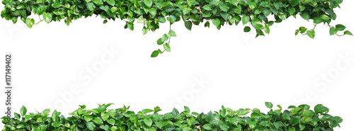 Fototapeta Heart shaped green leaves vine plant, devil's ivy or golden pothos nature frame layout isolated on white background with clipping path