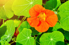 Bright Orange Nasturtium Flower- In Latin Tropaeolum