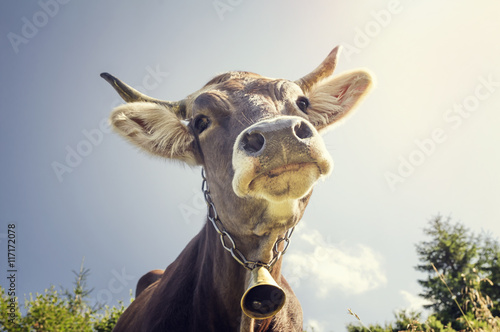 Photo Stands Cow Funny portrait of a cow with a bell around his neck