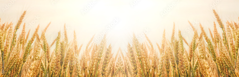 Fototapety, obrazy: Golden wheat ears or rye close-up. The idea of a rich harvest concept. background, wheat ears under shining sunlight. Soft lighting effects. copy space. vintage effect. Element of design.