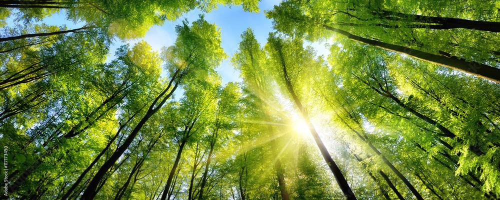 Fototapeta Zauberhafter Sonnenschein auf grünen Baumkronen im Wald