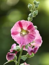 Hollyhock Flower In Bloom