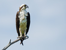 Osprey On Tree Branch