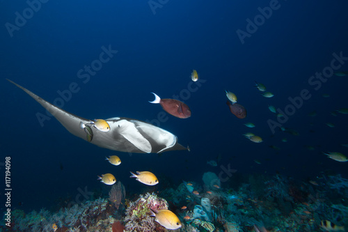 Wall Murals Diving Manta Ray, fishes and coral reef.