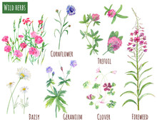 Collection Of Wild Herbs: Chamomile (daisy), Geranium, Carnation, Fireweed, Trifolium, Clover, Cornflower, Flowers And Leaves, Watercolor Painting, Realistic Illustration