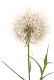 Tragopogon pratensiss close-up, isolated on white background - 117212675
